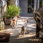 Camellas-Lloret Olive and Pixie
