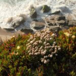 Areias do Seixo sea plants