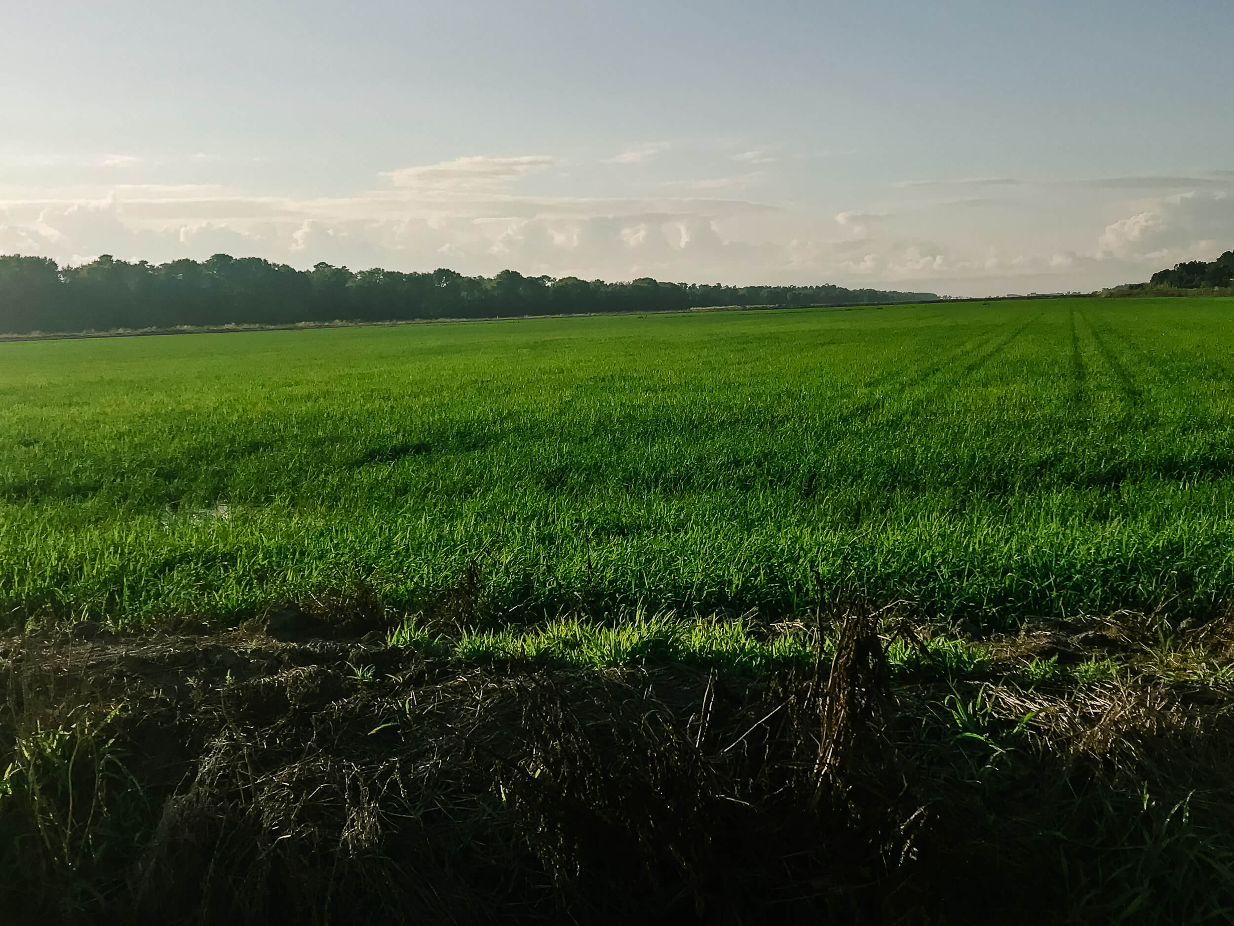 Comporta rice fields