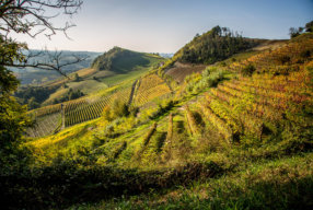 HARVESTING GRAPES IN PIEDMONT ITALY