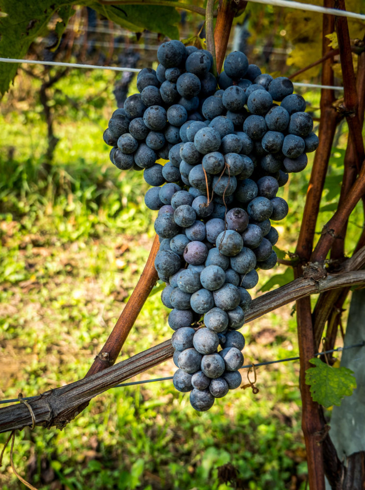 The perfect Nebbiolo bunch