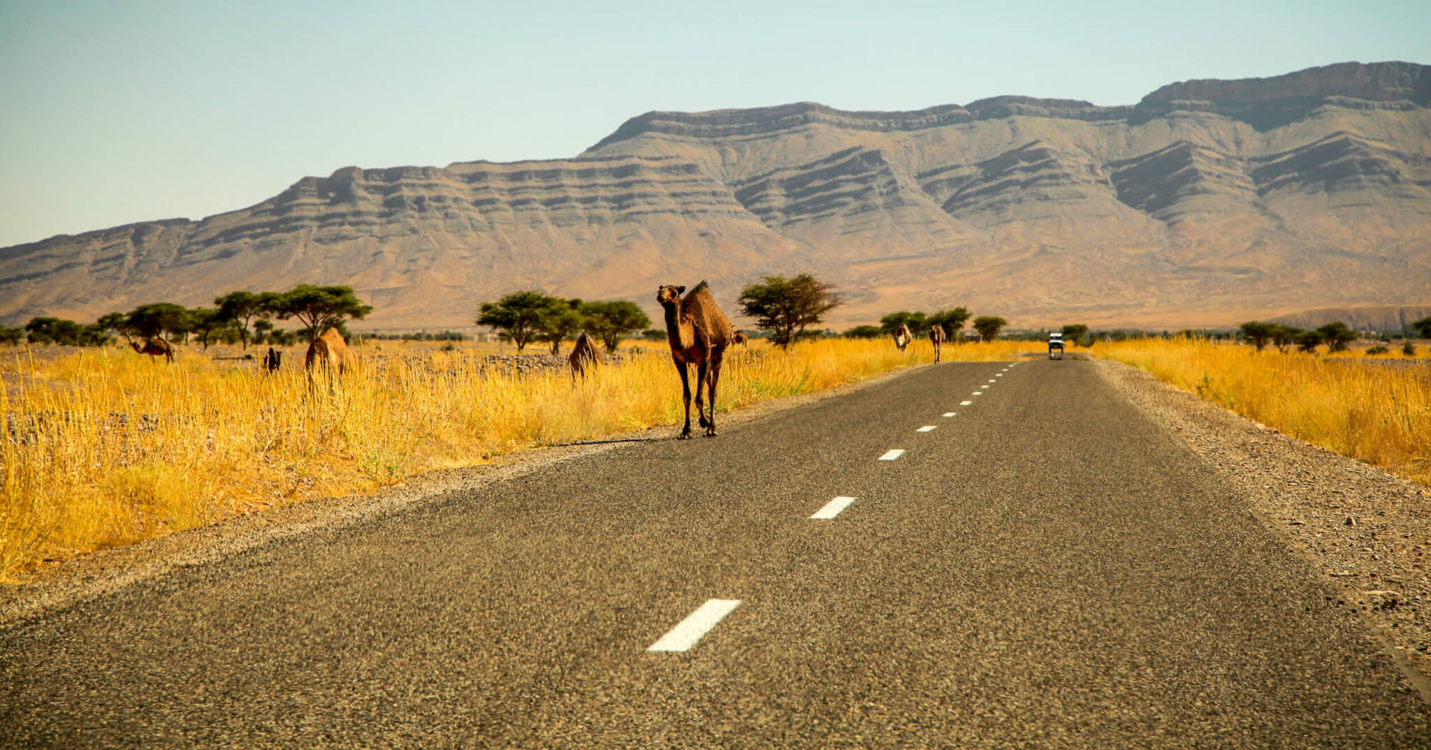 Camels along the road Ouarzzazate Morocco