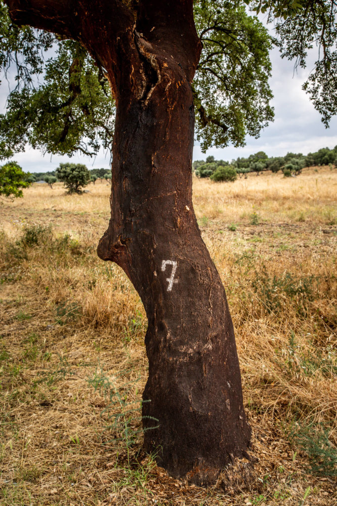 Cork tree in Alentejo