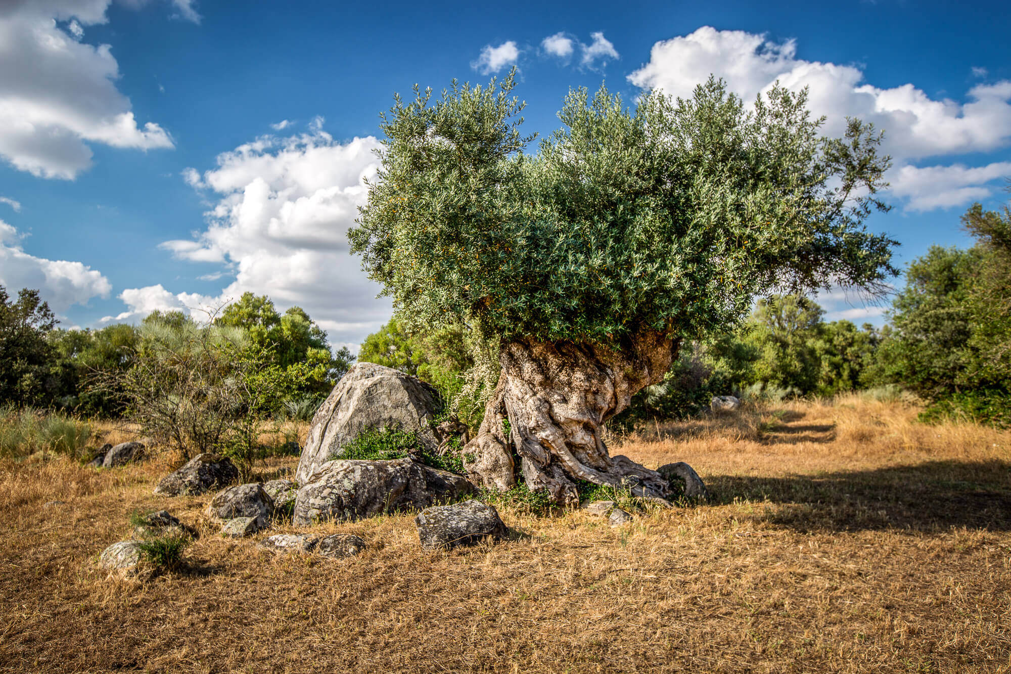 ancient olive tree Sao Lourenco do Barrocal