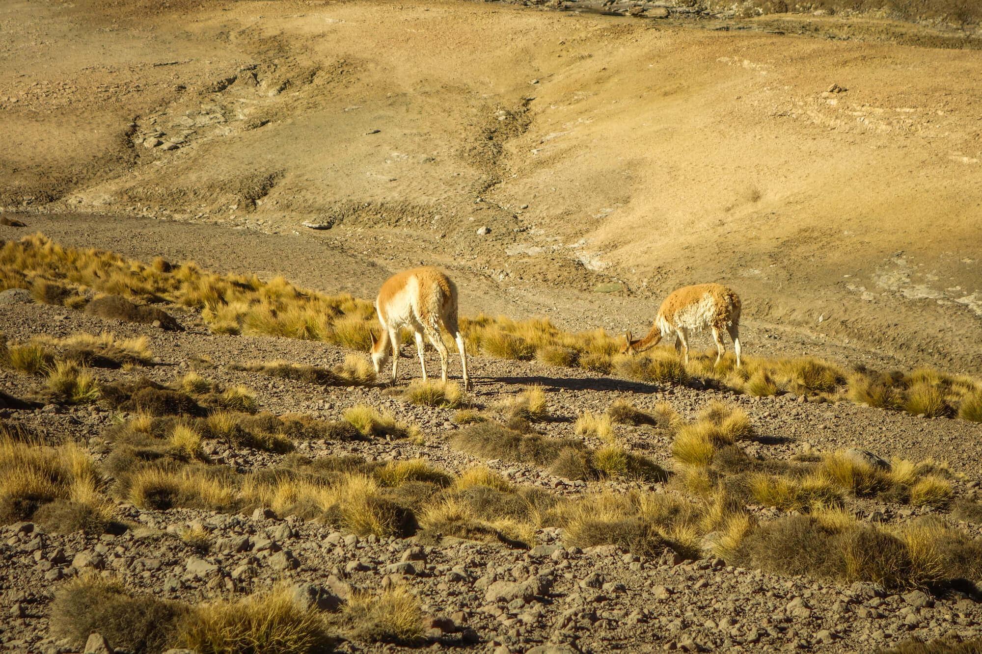 guanaco San Pedro de Atacama