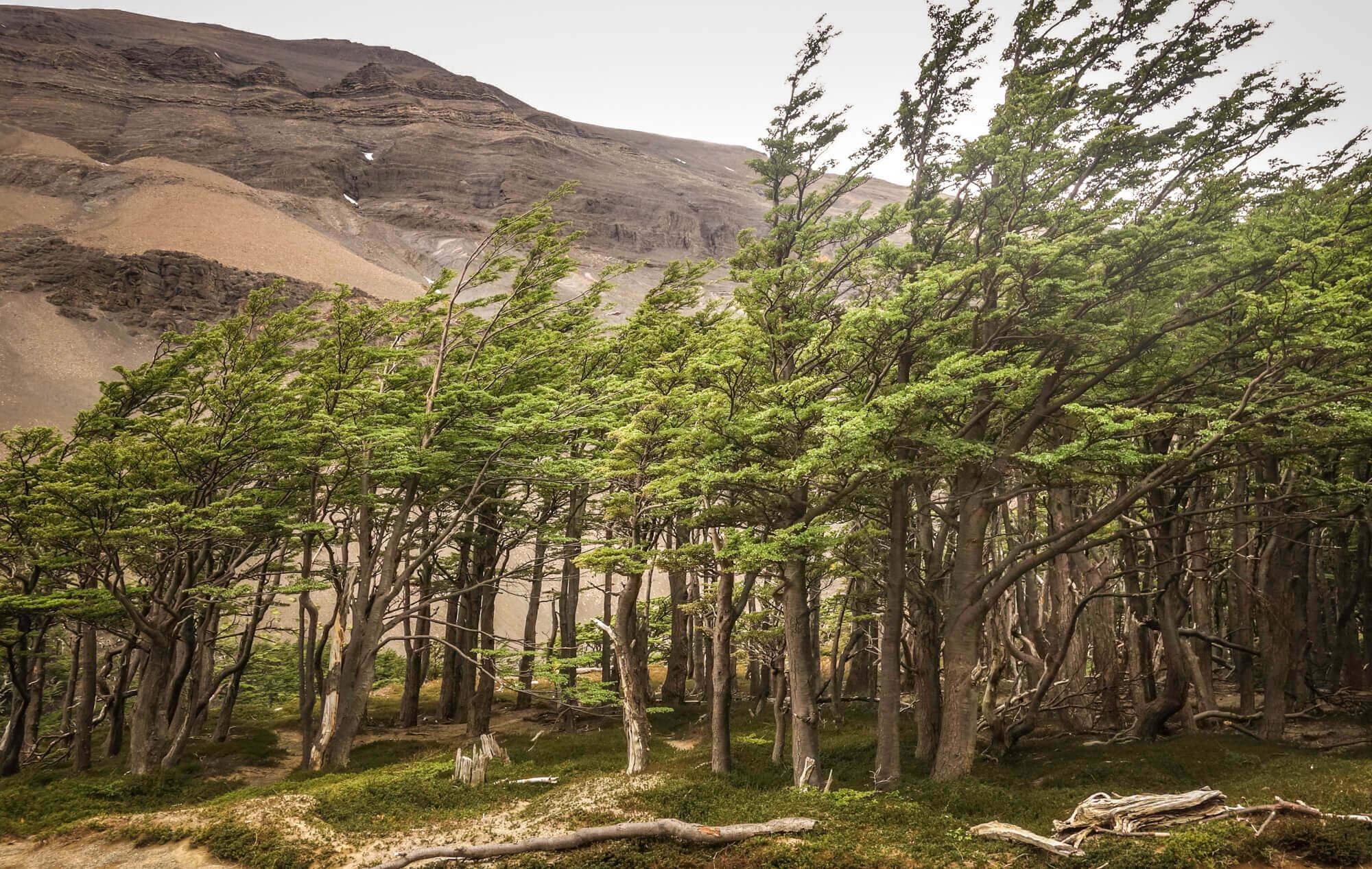 Lena trees Torres del Paine